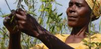 malawi peas e