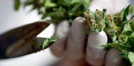 medical marijuana e