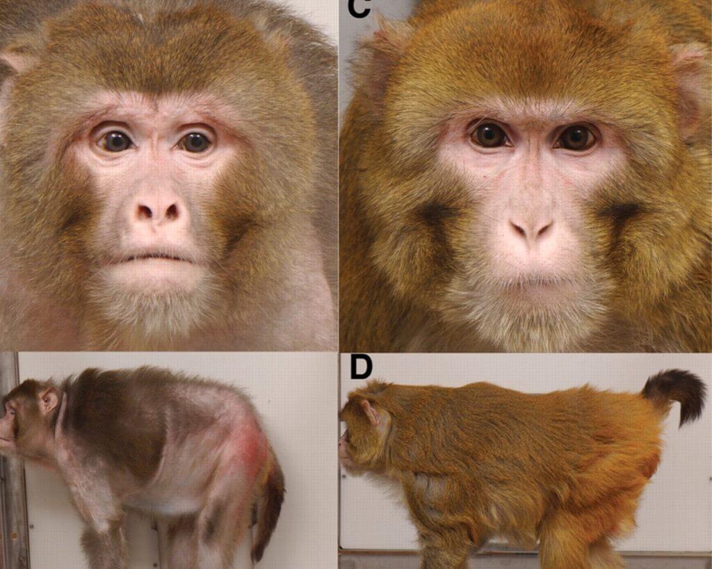 rhesus monkeys calorie restriction