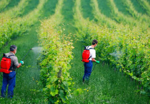 Organic fungicide copper sulfate poses dangers to humans, animals, insects—how does it compare to conventional pesticides?