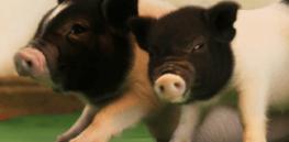 GMO 'virus-free' pigs stir debate about 'pushing limits' of genetic research