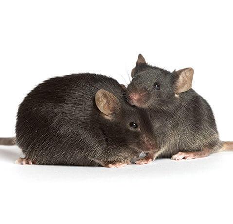 TI diabetic mice main e