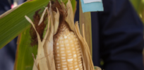 Mozambique harvests first GMO corn field trial