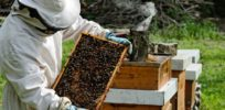 How 'pollinator entrepreneurs' helped stave off 'beepocalypse'