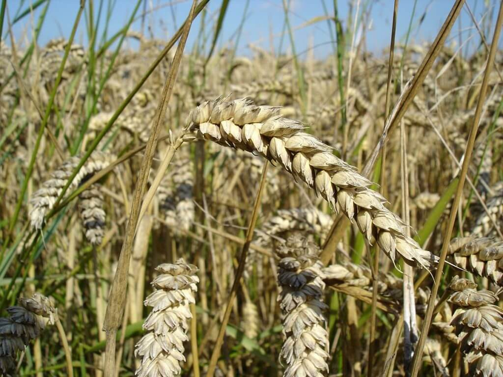 px Wheat close up