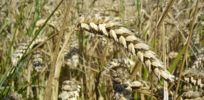Creating 'super wheat': Genetic modification supercharges photosynthesis