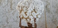 India investigating reports of cotton farmers growing unapproved improved Monsanto GMO variety