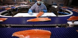28-years in development, GMO salmon now on sale in Canada--while US caught in labeling battle