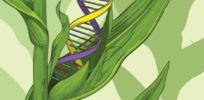 Will advanced breeding technologies render GMO crops obsolete?