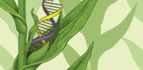 Viewpoint: Will Europe botch regulation of gene editing as it has GMOs?