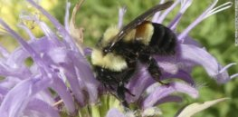 rusty patched bumble bee exlarge