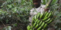 Talking Biotech: Soil-worm resistant GMO crops in Africa hindered by politics, public fears