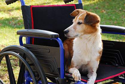 Talking Biotech: Pet dogs with genetic diseases testing ground for gene therapy