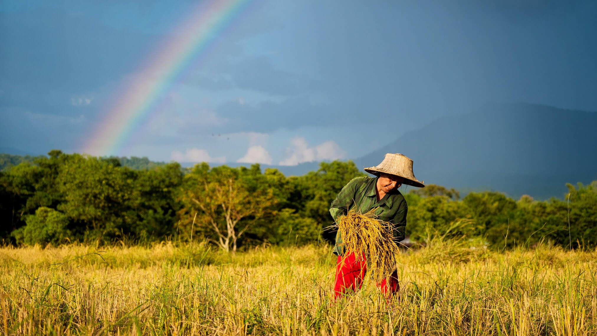 X T Rice Harvest