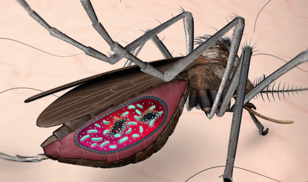 Fighting malaria: Bacteria targets parasites in mosquito gut