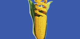 gmo corn w h x