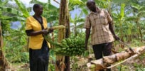 Uganda ponders gene-edited crops to avoid restrictive GMO regulations