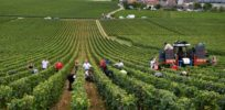 EU glyphosate herbicide ban would make weed control harder for French winegrowers