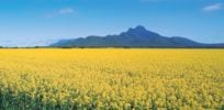 Canola Stirling range