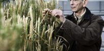 Group fitness more important than individual fitness for high-yielding crops, study shows
