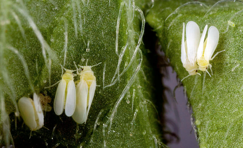 px Bemisia tabaci from USDA