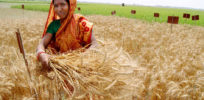 Bangladesh releases high-yielding disease-resistant wheat variety to farmers