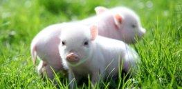 a a d a b fb e c cute tea cup pigs peyton