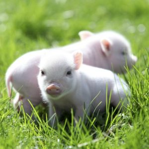 a a d a b fb e c cute tea cup pigs peyton