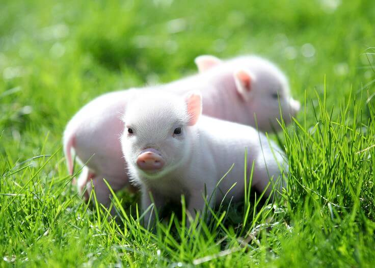 pig piglets pigs cute lab human gene cup tea peyton transplants breakthrough organ virus edited created mark project could curated