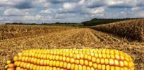 No signs of resistance to GMO Bt corn in Europe after 16 years of use