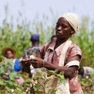 Afrikansiche Baumwolle
