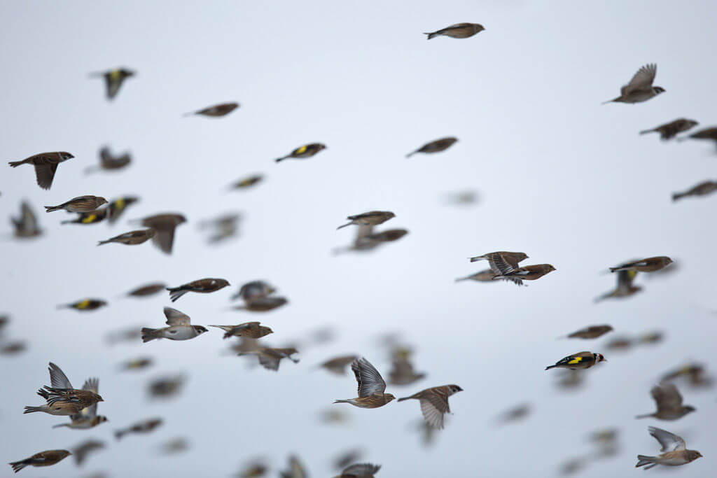 study of bird migration Definition of migration in english:  drilling would enable scientists to study the effects of habitat  'bird migration is a phenomenon that connects .