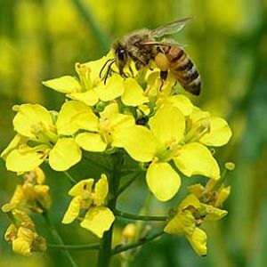 Bee on canola