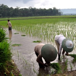 Bms rice planting rwg