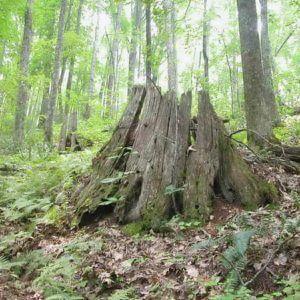 Chestnut stumps