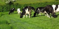 Cows in Pastures Agriland x