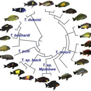 Geographic color variation in a cichlid fish Phylogenetic relationships among selected png
