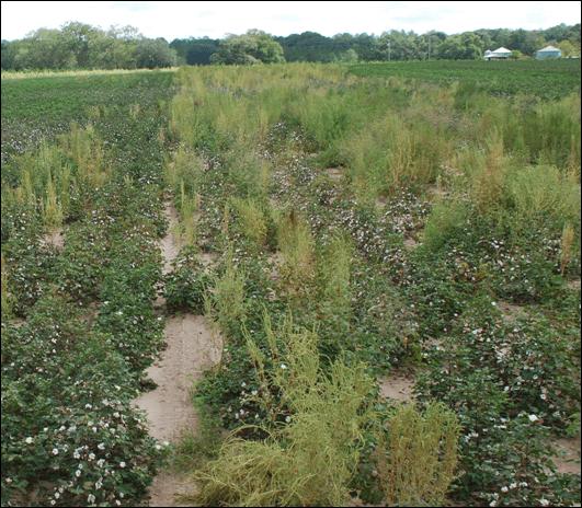 Glyphosate resistant Palmer amaranth