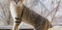 Podcast: How agriculture spurred the domestication of wild cats