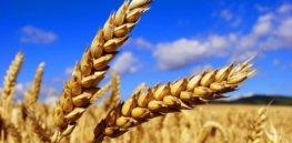 New crop Soft Wheat Ukraine