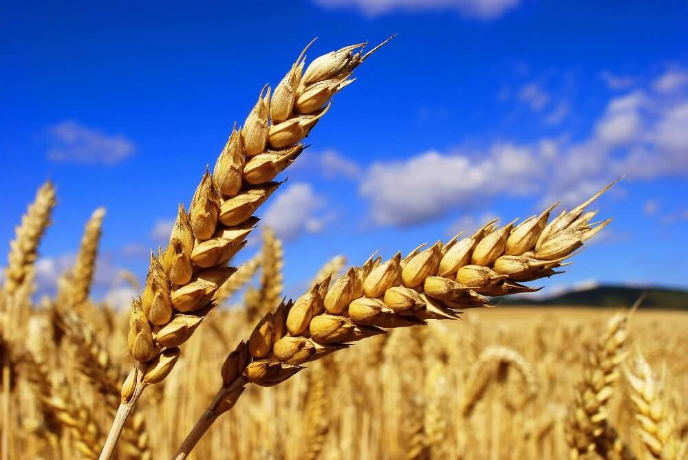 New crop Soft Wheat Ukraine