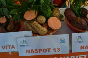 Orange fleshed sweet potato varieties