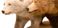 Bear love affair: Grizzly and polar--Interbreeding neighboring species played key role in evolution