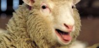 Dolly the sheep revisited: Early health fears about clones 'greatly exaggerated'