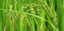 Non-patented, non-GMO herbicide resistant rice in development