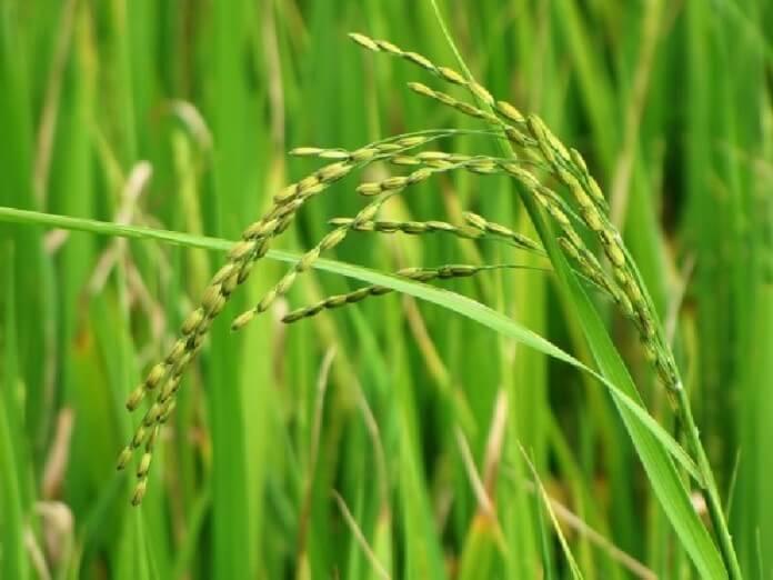 Rice plant x