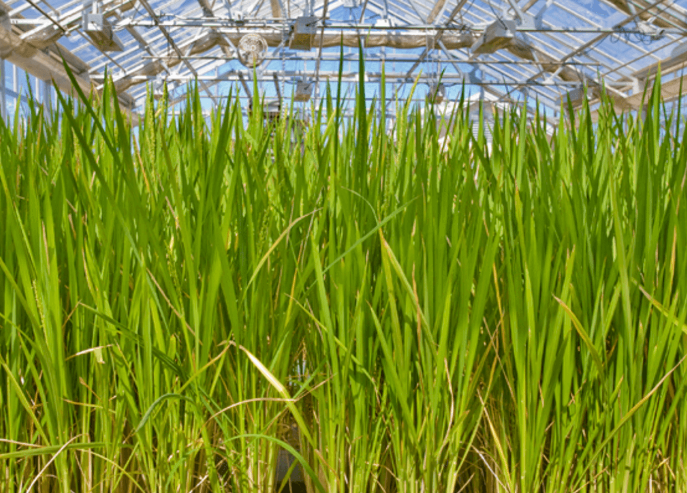 Fully sequenced rice genome could accelerate biofuel research