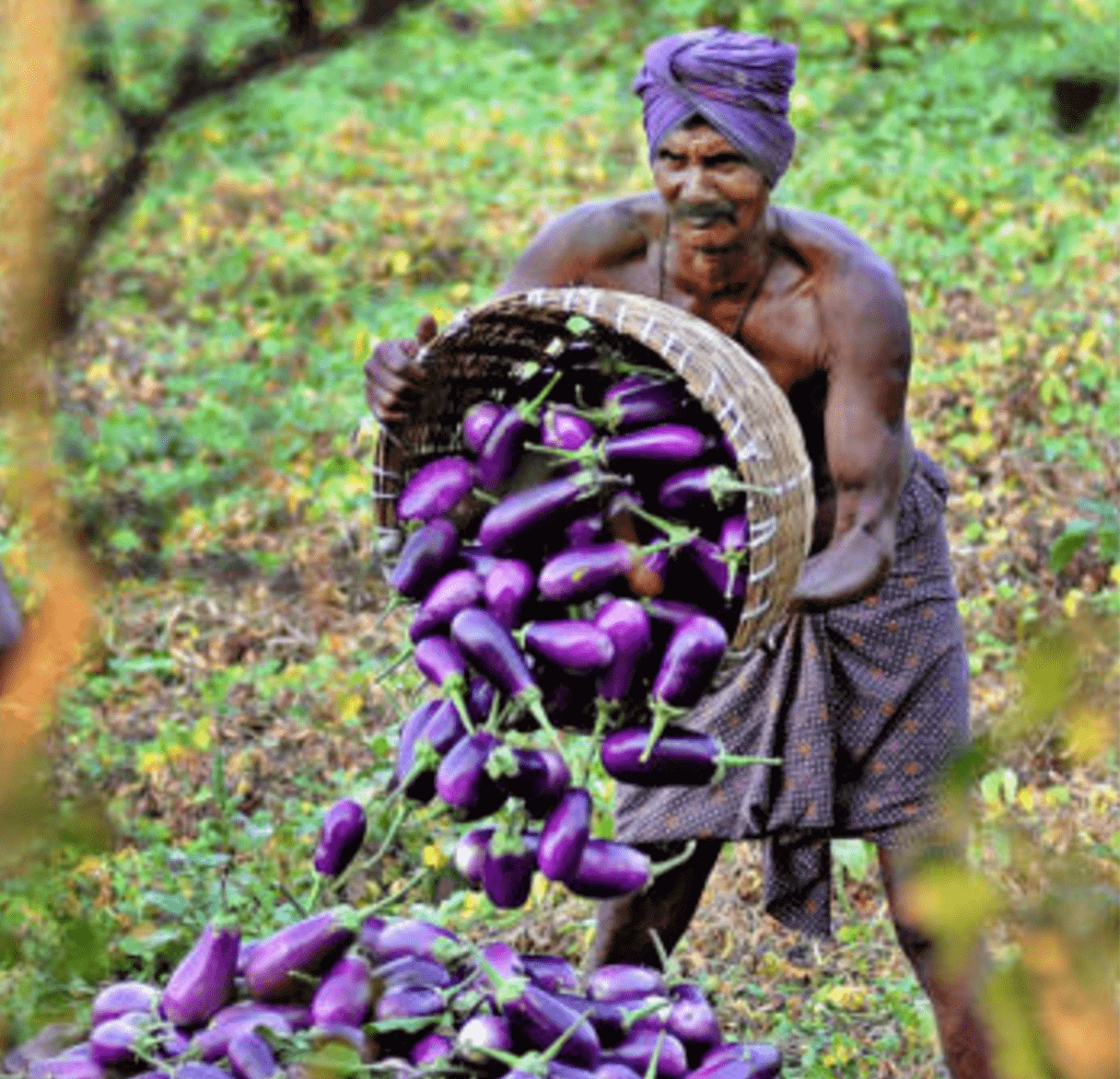 Indian scientist: Promoting 'rich man's' organic food' and delaying insect-resistant GMO eggplant hurts poor