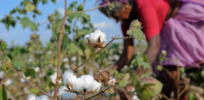 India's cotton farmers turn to black market herbicide-tolerant GM varieties to improve yields