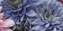 'True blue' chrysanthemum flowers created using genetic engineering